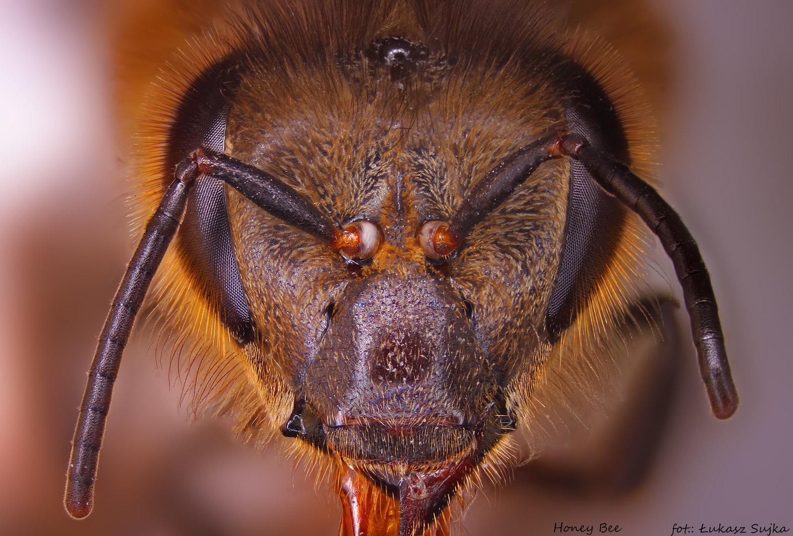 5aa6d70b718c0_honeybee.thumb.jpg.9caafd07ec1575b0d08f86e82fa6d113.jpg