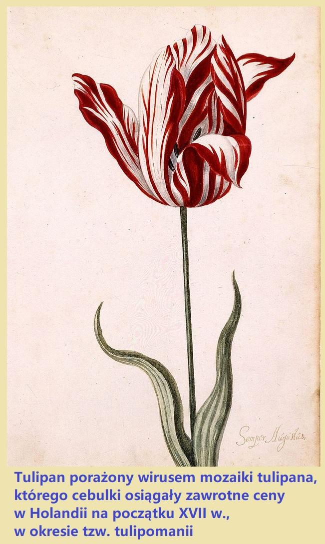 wir_tulipa.jpg