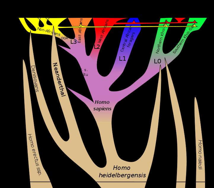 722px-Homo_sapiens_lineage.svg.png