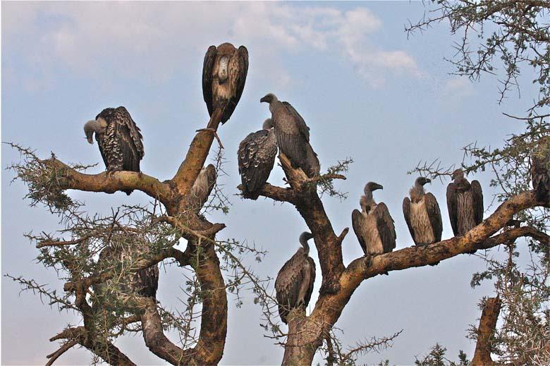 2-vulture.jpg