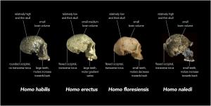 Comparison_of_skull_features_of_Homo_naledi_and_other_early_human_species.jpg