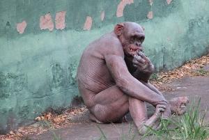 szympans_bez_wlosow.jpg